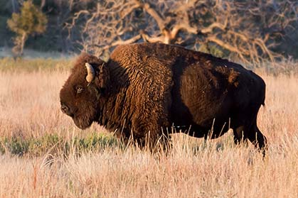 Though they appear docile, bison can act aggressively if challenged.