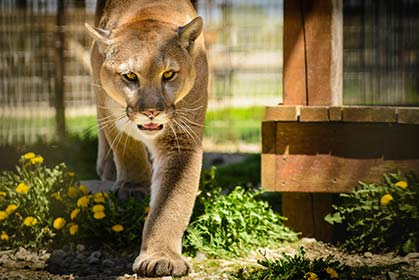 On rare occasions, mountain lions have been known to stalk and attack humans.