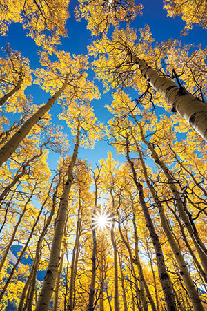 Golden aspens near Telluride, Colorado